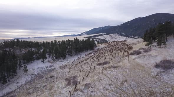 Thumbnail for Rocky Mountain Elk Herd Many Alarmed Spooked Frightened Running Fleeing Winter