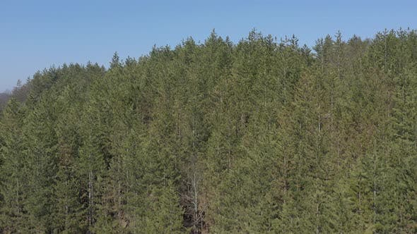 Thumbnail for Evergreen forest tree tops under blue sky 4K drone video
