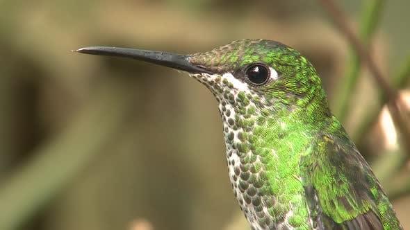 Green-crowned Brilliant Hummingbird Female Adult in Costa Rica
