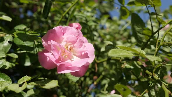 Thumbnail for Climber Rose plant on sunny day  close-up 4K 2160p 30fps UltraHD footage - Shallow DOF green shrub o