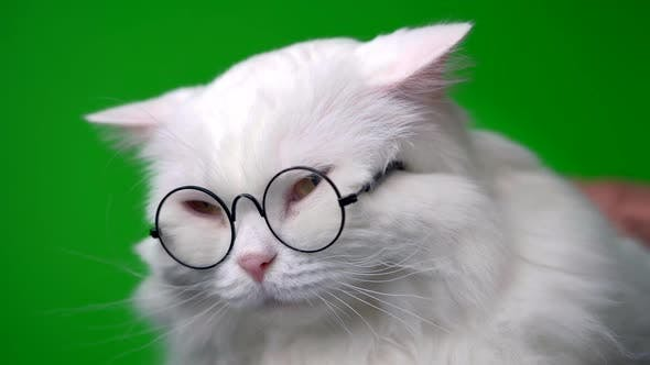 Portrait of Highland Straight Fluffy Cat with Long Hair and Round Glasses. Fashion, Style, Cool