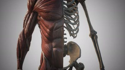 Muscular and Skeletal System of Human Body