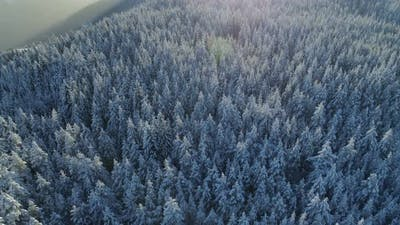 Aerial View of the Snow-covered Spruce Forest