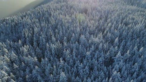 Vue aérienne de la forêt d'épinettes enneigées