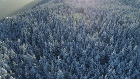 Вид с воздуха на заснеженный еловый лес