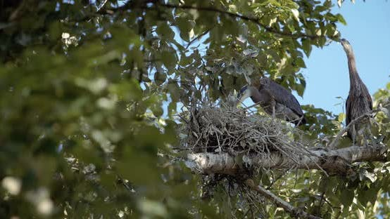 Thumbnail for Baby Blue Heron In Tree With Long Neck Looking Around