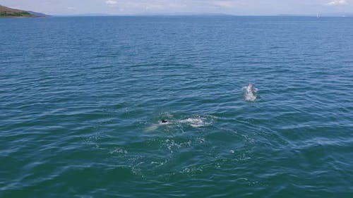A Pod of Wild Dolphins Jumping From the Sea