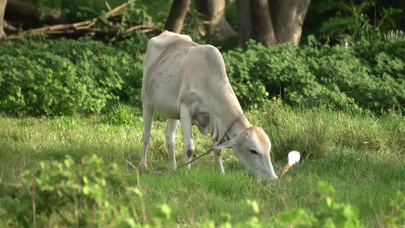 Thumbnail for A cattle is grazing grass