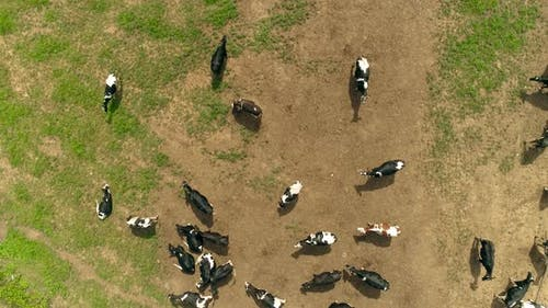 Herd of Cows in a Farm