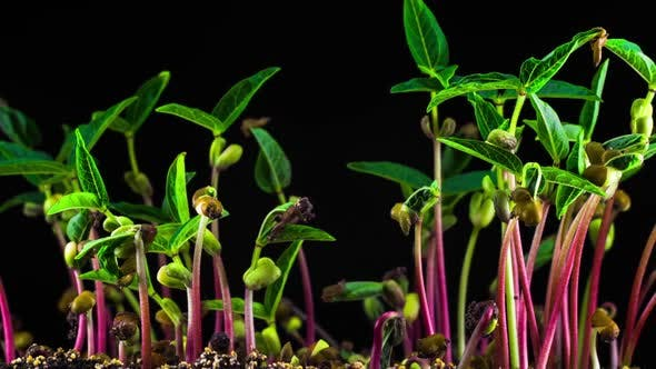 Thumbnail for Mung Beans Germination on Black Background
