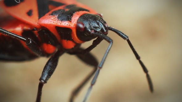 Thumbnail for Red Beetle Moves Their Antennae