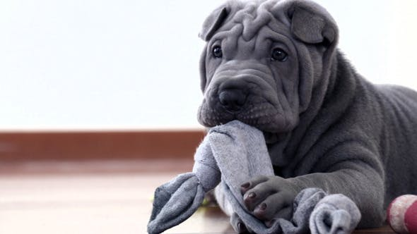 Thumbnail for Shar Pei Pup Playing with its Rag