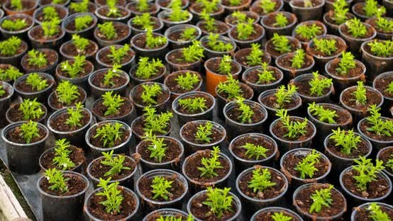 Thumbnail for Potted Plants Growing in Greenhouse Agriculture