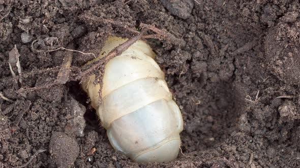 Thumbnail for May Bug Larva in Soil, Timelapse