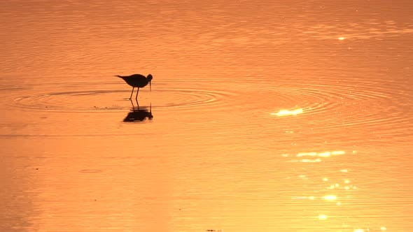 Thumbnail for Lonely Bird Is Walking on the Shallow Water an Catching Fish on the Sunset on the Sea Beach