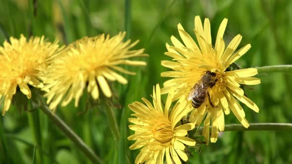 Thumbnail for Bee on Yellow Dandelion Flower