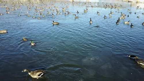 Canada Goose Flock Many Geese Alarmed Spooked Frightened Flying in Winter