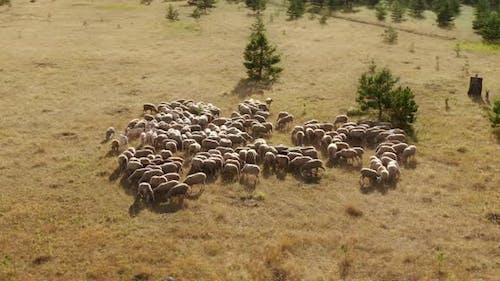 Sheep Graze on the Plain Chewing Grass