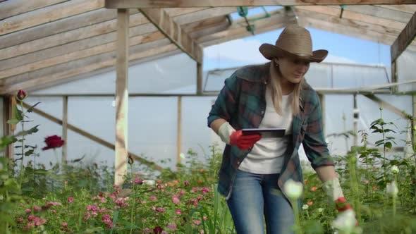 Thumbnail for Schöne Frau Florist Spaziergänge durch das Gewächshaus mit einem Tablet-Computer überprüft die gewachsenen Rosen