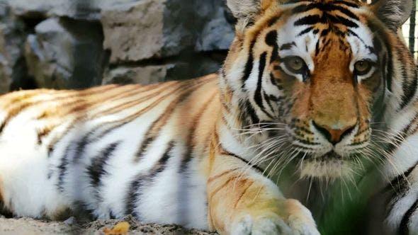 Thumbnail for Amur Tiger Resting