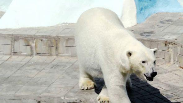 Thumbnail for Polar Bear Walking In Zoo