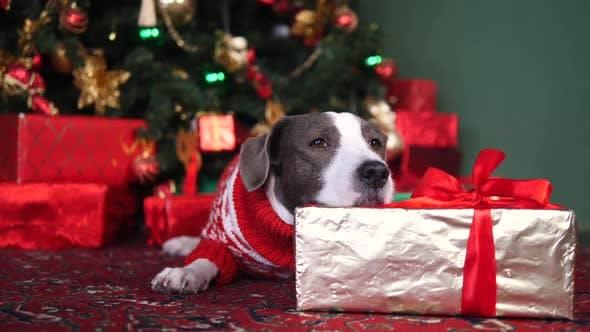 Thumbnail for Christmas, New Year, Holidays And Celebration. Dog Lying Under Xmas Tree