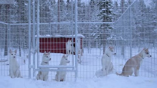 A Pack Of Siberian Husky Inside The White Metal Fence Cage In Snow Environment. -medium shot