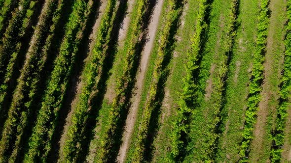 Green wine vineyards in Poland.