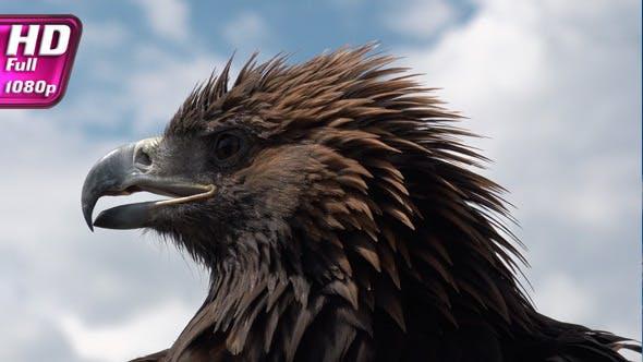 Thumbnail for Golden Eagle on Sky Background