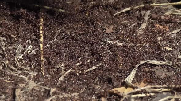 Thumbnail for Ants Crawling on Anthill in Woods
