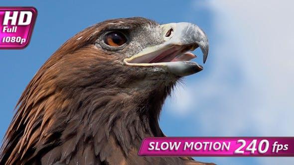Thumbnail for Predatory Bird Looks for Prey