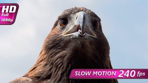Thumbnail for Golden Eagle Looks Around