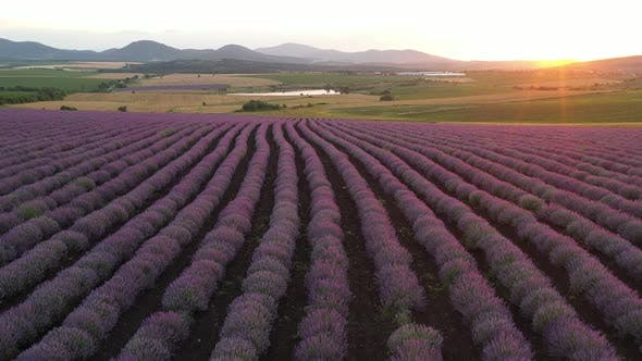 Flight  Above Levels With Blooming Lavender