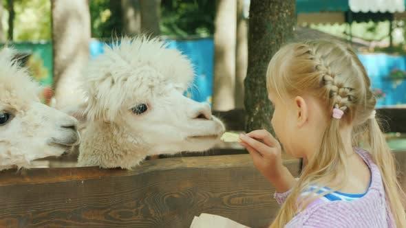Thumbnail for Girl Feeds a Cute Alpaca on a Small Farm