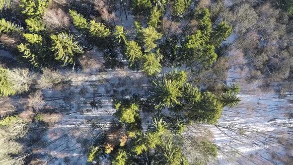 Bare birches and green fir trees in winter forest, aerial