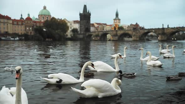 Prague, Czech Republic. White Swans Swimming In The Vltava River. Famous Old Charles Bridge On