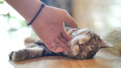 Close up hands of the girl girl plays with sleeping cute tabby cat.