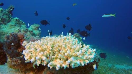 Trigger Fish and Red Sea Dascyllus