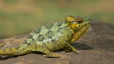Chameleon standing on a rock