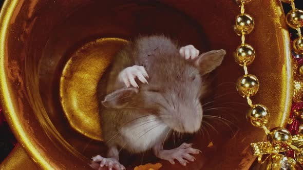 Thumbnail for Macro View of Small Grey Domestic Rat Eating Something, Symbol of New Year