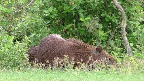 Capybara Male Adult Lone Eating Grazing in Brazil South America