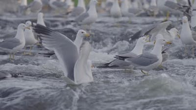 Seagulls On a River Waiting For Fish