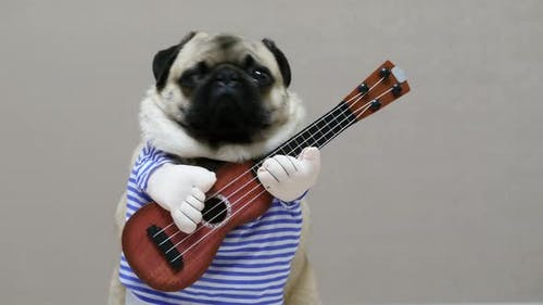 Funny Pug Looks at the Camera with a Guitar in a Festive Costume, Dog Guitarist
