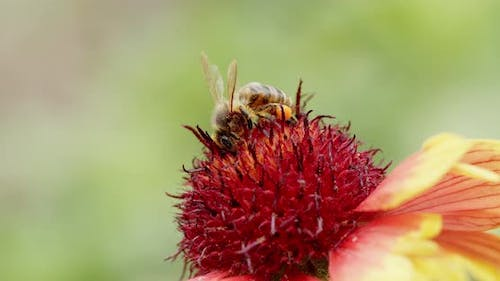 Honey Bee, Apis Mellifera, Foraging for Pollen on the Red Stamens of a Coneflower, Echinacea Species