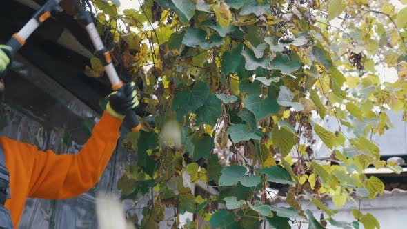 Thumbnail for Close Look of Young Farmer Pruning Garden Grapes Leaves