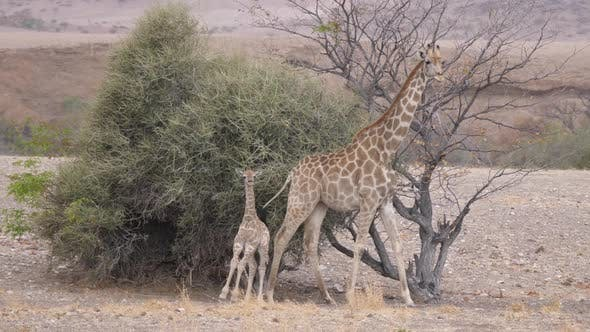 Baby Giraffe Runs Away from Her Mom on The Savanna