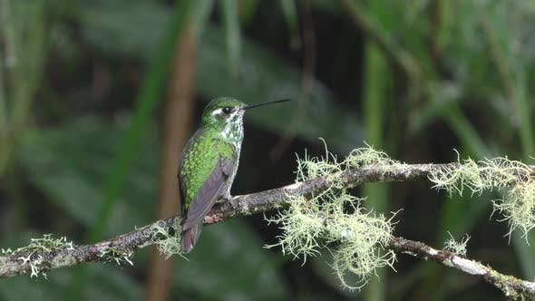 Thumbnail for Green Hummingbird Flying Landing on Branch in South America Cloudforest