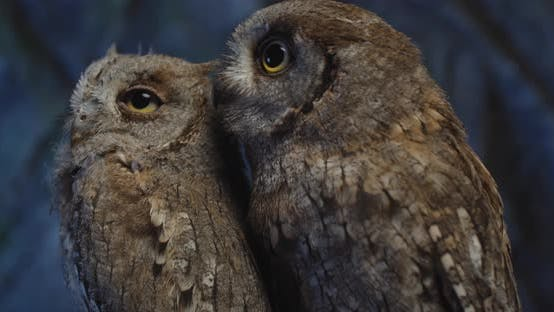 Thumbnail for Close Up of Two Adorable Baby Owls with Big Eyes Moving Their Heads,