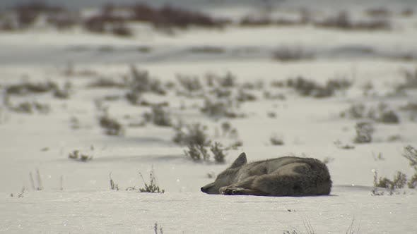 Thumbnail for Coyote Adult Lone Sleeping Resting in Winter in Yellowstone National Park Wyoming