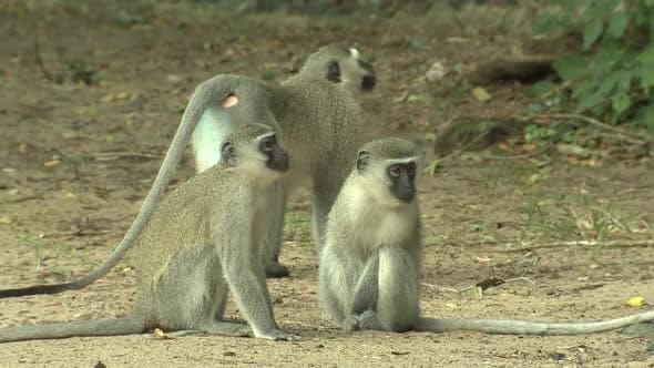 Thumbnail for Vervet Monkey Männlich Mehrere Trockenzeit in Südafrika